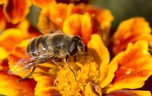 Pszczoła - najlepszy przyjaciel ogrodnika